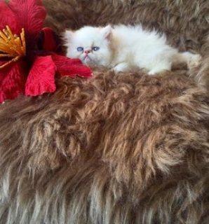 قط هيمالايا بوينت للبيع