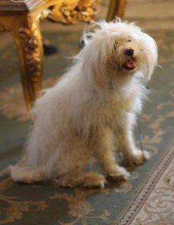 كلب جريفون الماني