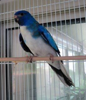 Blue Scarlet parrots