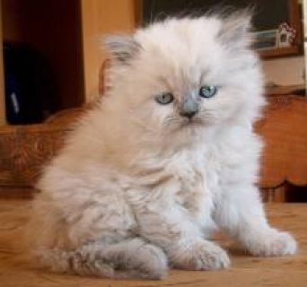 Cute Himalayan Kittens for Sale