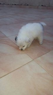 """كلب جريفون """"لولو """""""