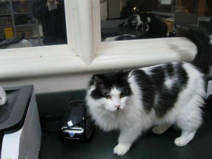 Domestic Long Hair Black and white  Kiki  Medium  kittens