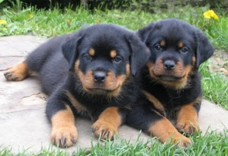 2 Gorgeous Rottweiler Puppies