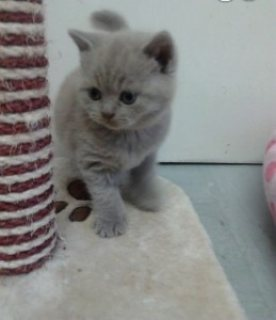 Exotic British Shorthair