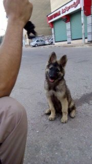 كلب بلجيكي (ماسك غامق )