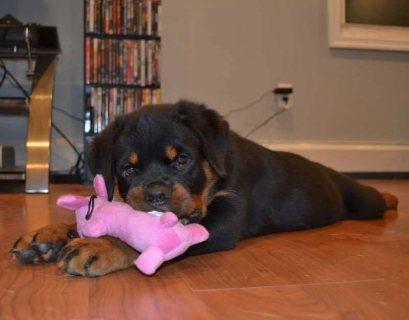 داندي اوسكار لكافة انواع الكلاب البيور