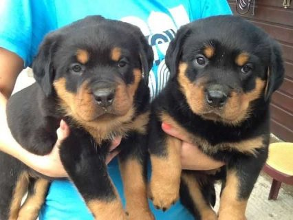 12 weeks old Rottweiller Puppies for Adoption