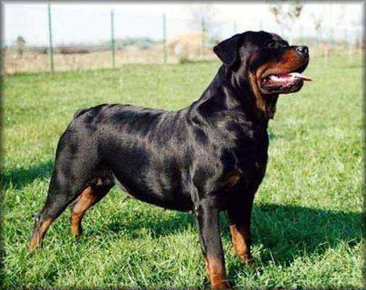 كلب روت ويلر للبيع باقل سعر