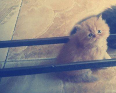 قطه شيرازى - مشمشى - عمر 3 شهور