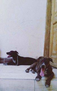 كلاب بيتبول برنت للبيع دكر وانثي