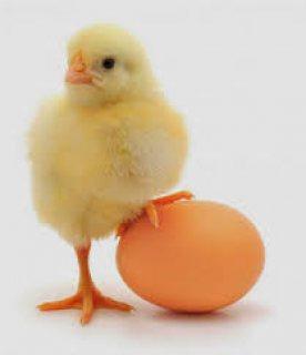 بورصة بيض الحمامي من اولي شركات انتاج بيض الدواجن في مصر