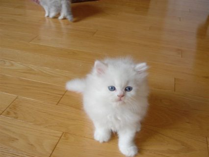 CFA Reg DOll Face & Teacup Persian kittens Free to go now