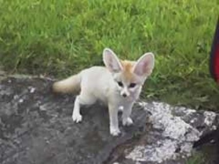 Bottle Fed Baby Fennec Foxes for sale