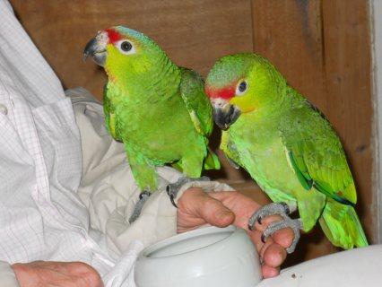 adorable Amazon parrots for Adoption