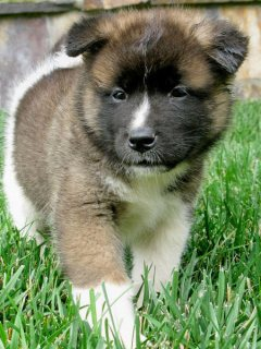 Akita puppies For sale now male and female