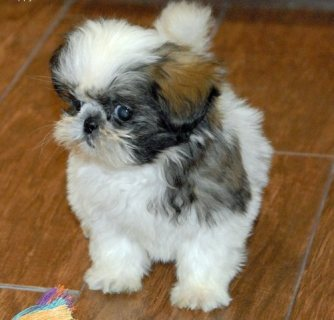 Quality shih tzu Puppies
