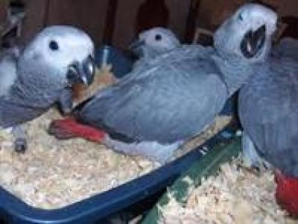 Well Tamed Hand Raised African Grey Parrots For Sale