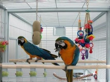 صور Macaw parrots for adoption now The Blue and Gold macaw is the mo 1
