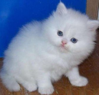 صور White adorable male and female Teacup Persian kitten ready for s 1