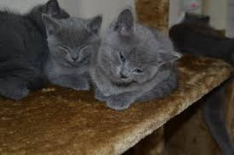 Male and female Russian blue kittens ready for sale