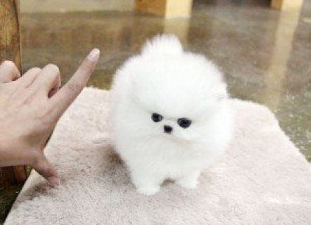 صور Teacup Pomeranian puppies,I have 3 adorable Pomeranian puppies; 1