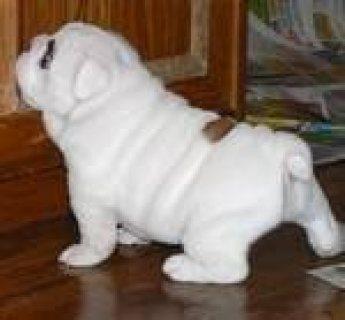 Adorable English bulldog puppies for rehoming //./..//.
