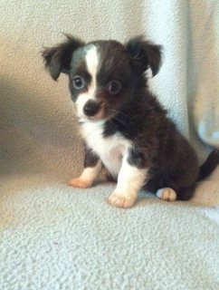 adorable Chihuahua puppies for sale..