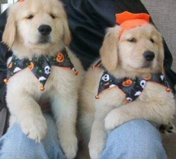 Golden Retriever Puppies For sale(Male and female) ready