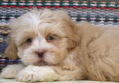 Lhasa Apso puppies for Adoption.great looking puppies that are g