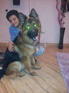 كلب جرمن شيبرد مستورد من روسيا و كل اوراق متاحة