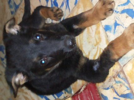 صور german shephered puppies for sale 50 days 1