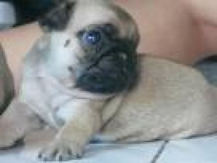 pug puppies for sale and for good home.............