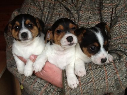 Lovely Jack Russel Puppies looking for a new home!......