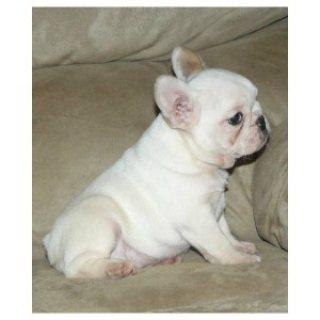 HOME PETS !! French Bulldog Puppies Available For Your Homes .