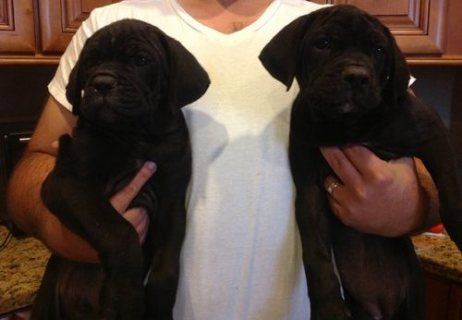 TWO ADORABLE CANE CORSO PUPPIES READY FOR GOOD HOME
