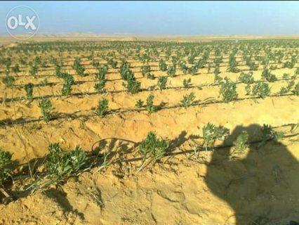 امتلك مزرعتك بريف الفيوم الاخضر مزرعه ٧٠فدان مسجله