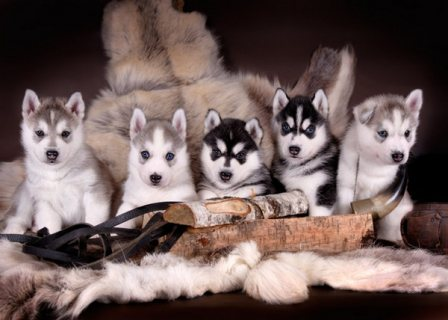 Gorgeous Siberian Husky Puppies available very Playful