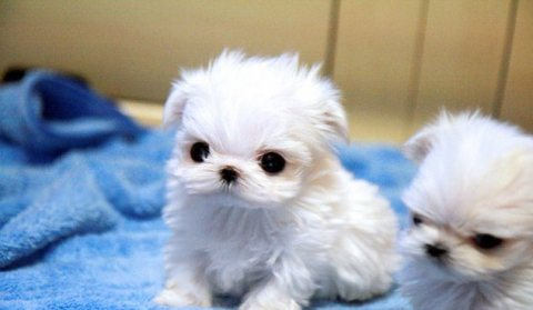 Male and female  tiny tiny MALTESE puppies available