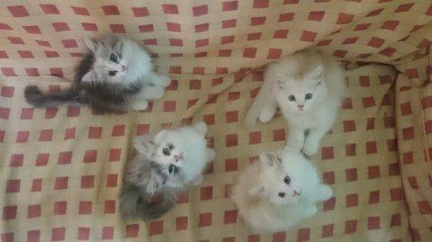 4 قطط شيرازي