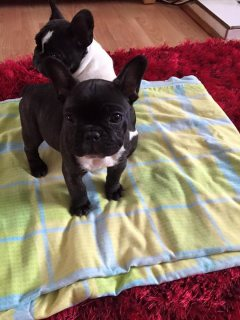 French Bulldog Puppies for sale male and female