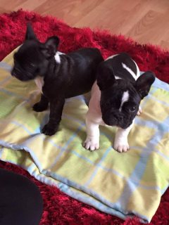 Magnificent French bulldog puppies