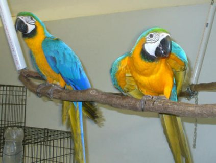 صور Blue And Gold Macaw Parrots for Sale....... 1