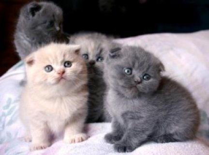 Healthy male and female Scottish Fold Kittens for sale