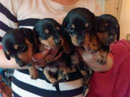 صور Male and female dachshund puppies for sale /.././/./././. 1