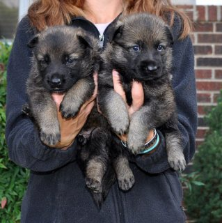 صور Cute male and female German Shepherd puppies for sale.,,. 1