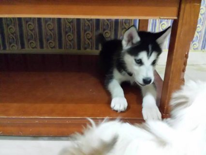 adorable siberian husky male and female for adoption.../......,,