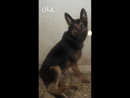 كلب جيرمن الوان غامقة خمس شهور ونصف