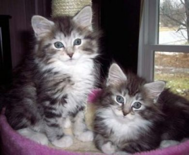 Male and female Maine Coon Kittens for sale