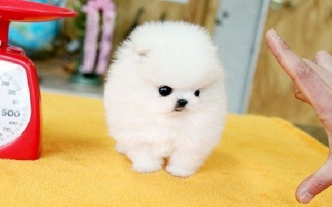 Cute Male and female Tiny Teacup Pomeranian Puppies ready for sa