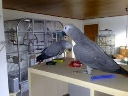 Male and female African Grey Parrots for sale